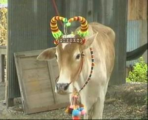 เขาวัวมีน้อย ขนวัวมีเยอะ